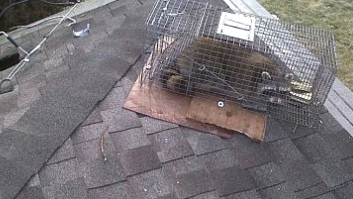 Bills Raccoon Removal Service second image