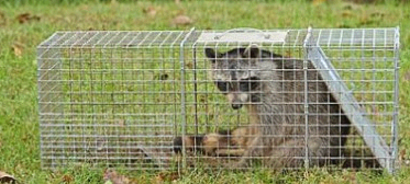Bills Raccoon Removal Service third image