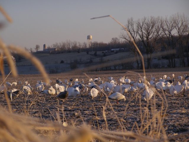 SHOW ME SNOW GEESE first image
